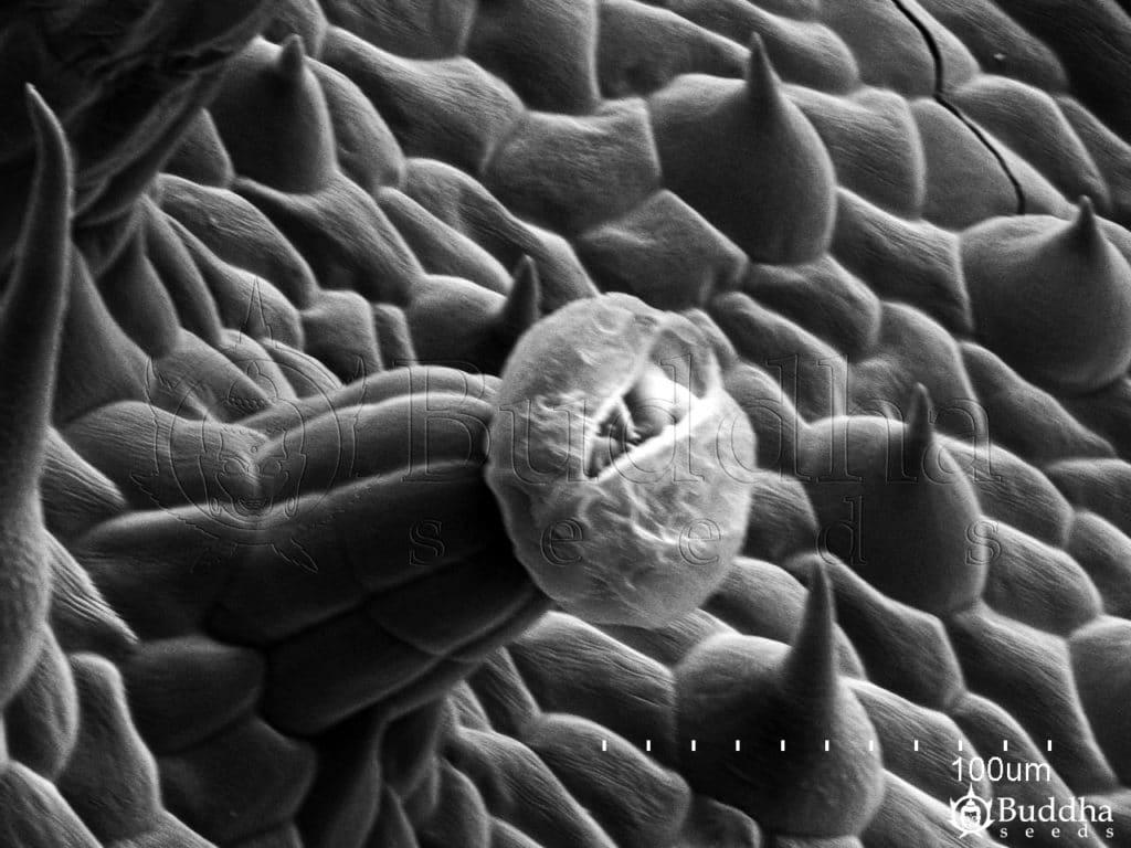Detalle de un tricoma glandular con rotura de la cutícula