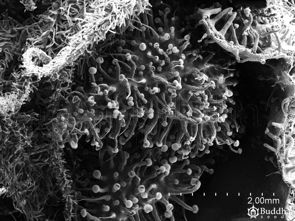 Inflorescencia en la que se observan ovarios repletos de tricomas glandulares y estigmas papilosos
