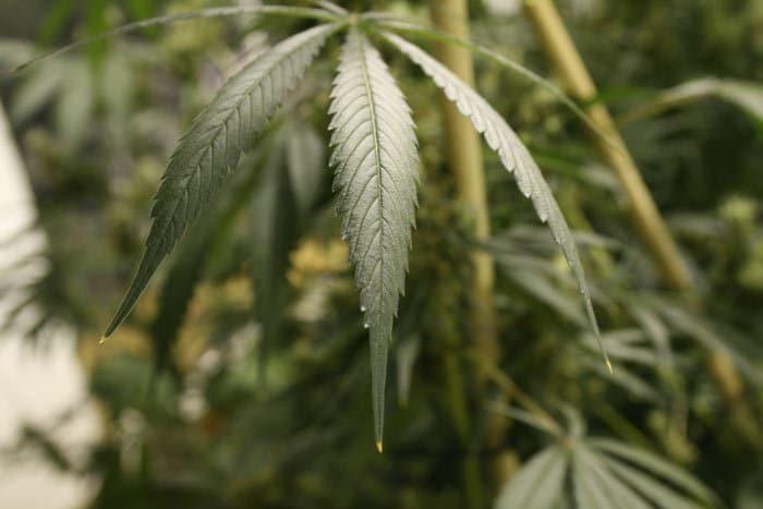 : Exceso de nitrógeno: hojas verde oscuro en forma de garra y puntas quemadas, síntomas característicos de esta toxicidad.