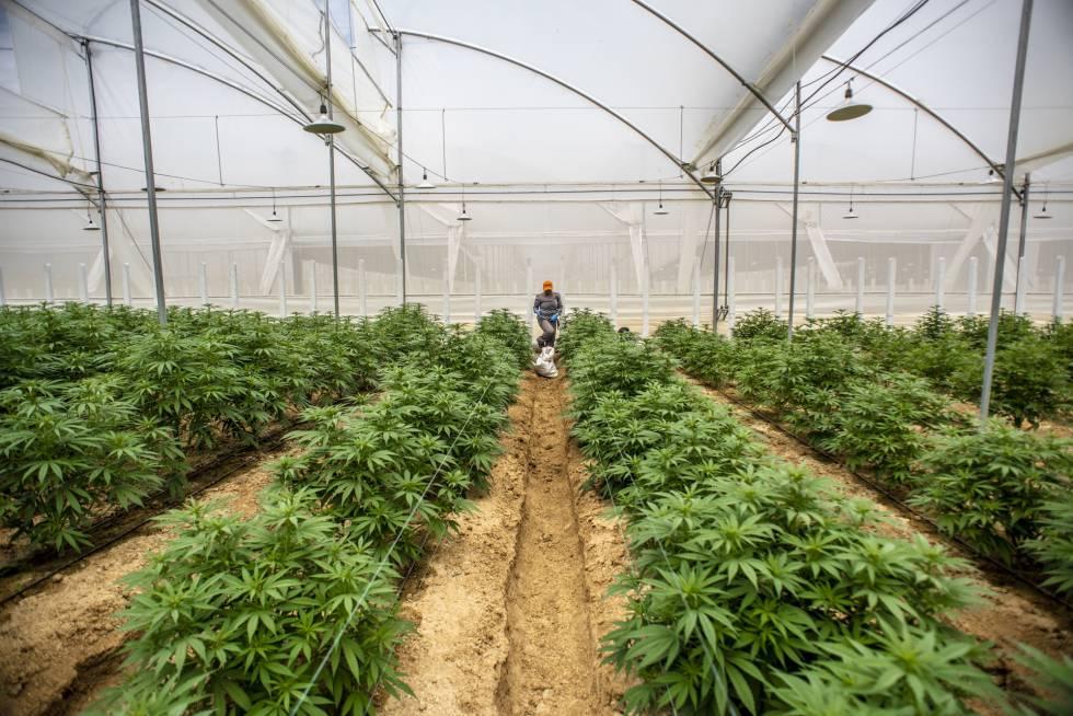 Plantas de cannabis en un invernadero en Pesca, Colombia.