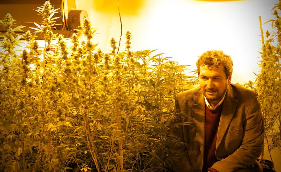 El científico Darío Andrinolo observa la floración de las especies de cannabis bajo investigación.