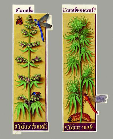 Ilustración de cannabis en la obra 'Grandes horas' de Ana de Bretaña (1505-1508)