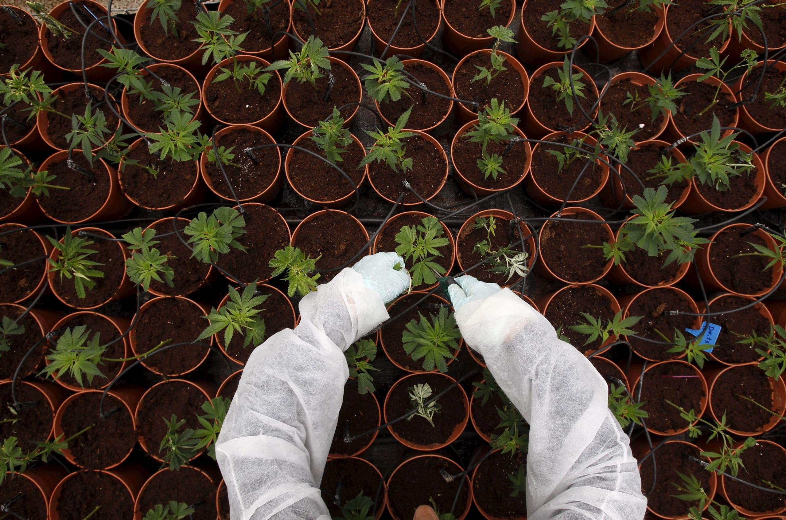 jean-marie-le-guen-pour-une-autorisation-selective-du-cannabis 20170621081020