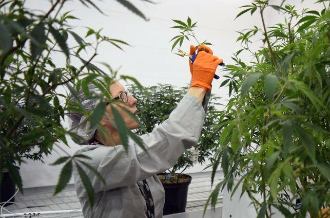 Una trabajadora en los cultivos de cannabis de la compañía Canopy Growth, líder en el mundo.