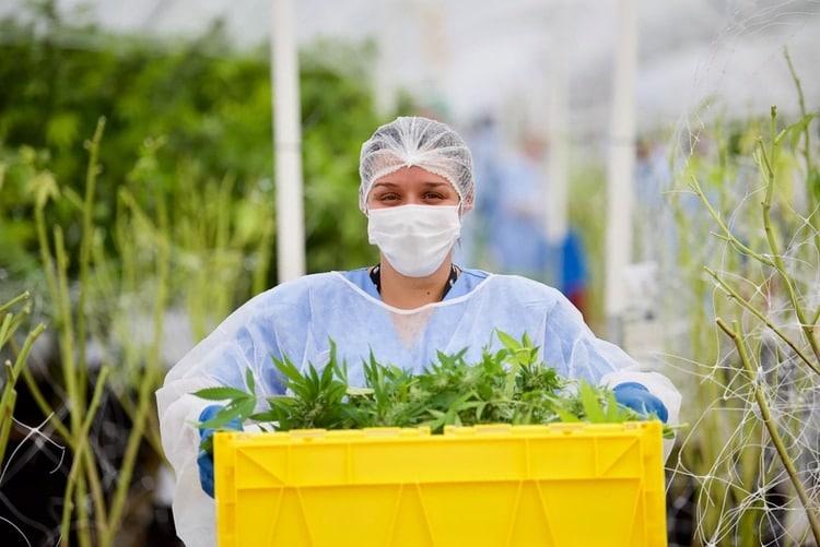 Trabajadores en plena cosecha dentro de un invernáculo destinado a la producción de cannabis para uso medicinal