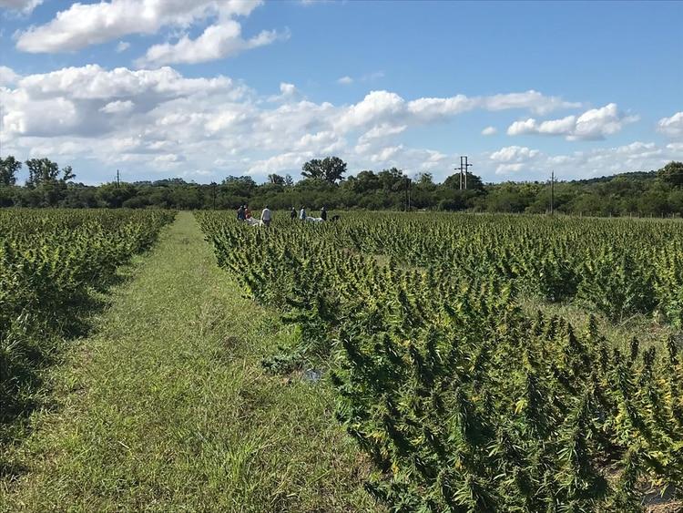 Cultivos de cannabis en el departamento de Salto