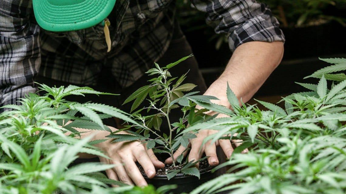 Descubren que el consumo cannabis a largo plazo mejora la función cardíaca