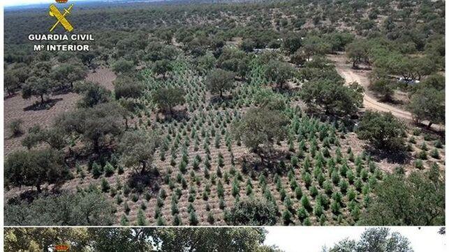 Desmantelada la mayor plantación de cannabis en Extremadura, con 22.000 plantas