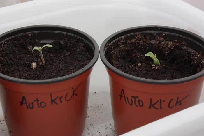 Dos AutoKick naciendo con mucho vigor. Esta variedad promete ser no solo una de las más productoras, sino también de las más resistentes a infecciones radiculares.