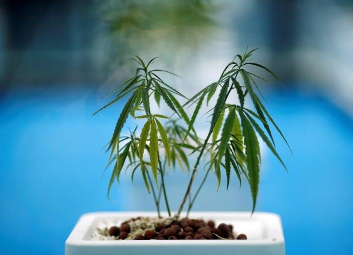 Hay más de 6,000 variaciones de flavonoides, pero los científicos de Harvard ven un gran potencial en uno que se encuentra en el cannabis y que se utiliza para hacer un compuesto denominado FBL-03G.