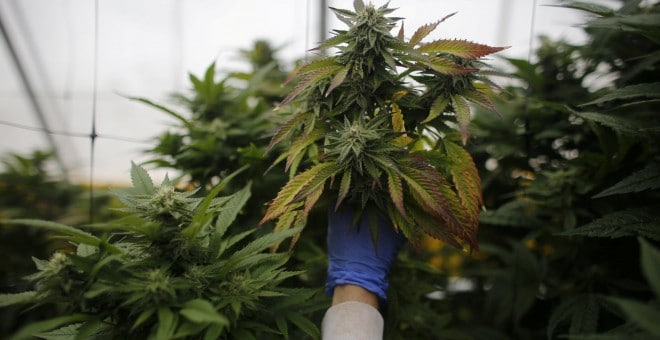 Un invernadero de marihuana.- REUTERS