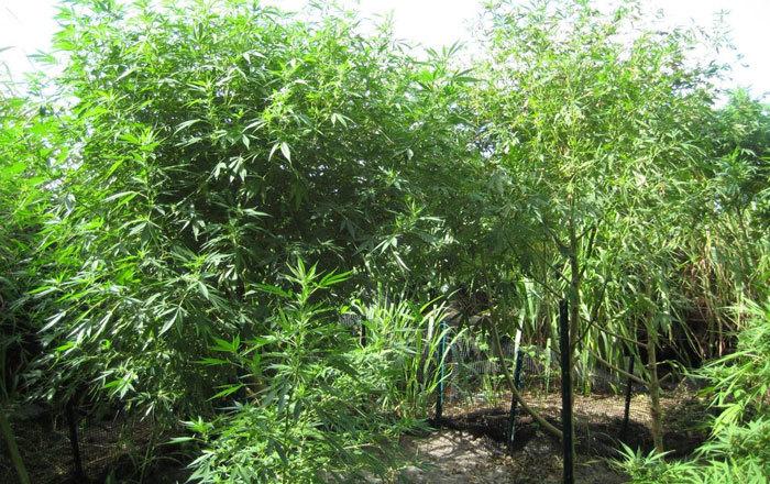 Plantas grandes podadas