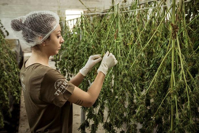 Recoleccion de Cannabis