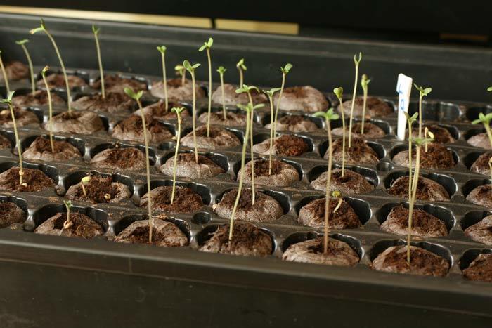 La elaboración de un semillero como el que se observa en la foto no es una práctica común en la cannabicultura española. En general, los cultivadores tienden a realizar siembras directas en macetas grandes y con sustratos poco adecuados, lo que puede generar enormes bajas.