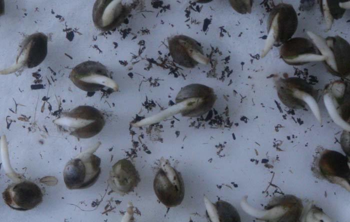 """Las semillas germinadas en condiciones """"aeróbicas forzadas"""" son más vigorosas que las germinadas en suelo o maceta directa."""
