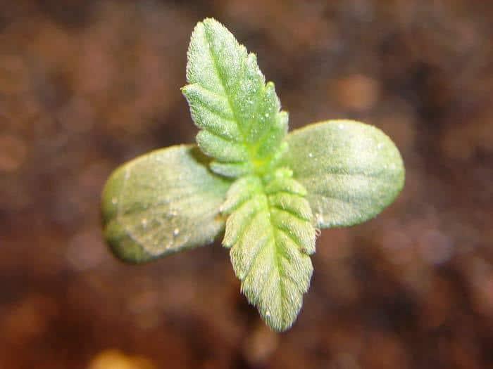 Una plántula sana de cannabis con tan sólo unos días de vida.