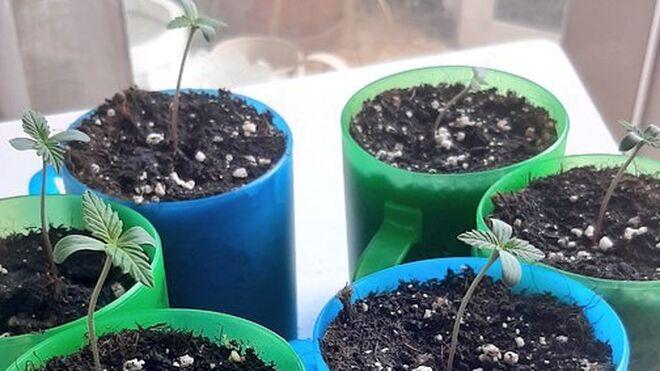 Plantas de cánnabis.