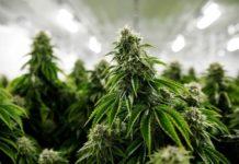En California la industria del cannabis está considerada dentro de las empresas 'esenciales'. (Cortesía)