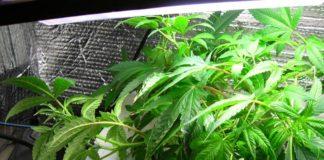 Planta en crecimientode cannabis en cultivo hidropónico en crecimiento