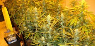 Plantación de cannabis en interior