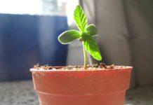 Plantita de cannabis en incipiente crecimiento