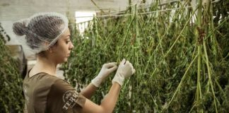 Centro de secado de cannabis