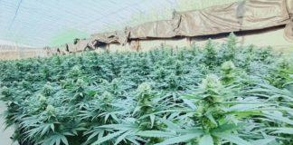 Cultivo de cannabis en el invernadero de CTAEX en Villafranco del Guadiana (Badajoz) — CEDIDA