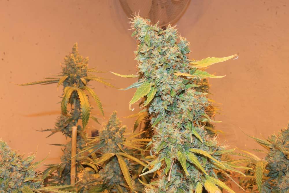Variedades medicinales de cannabis