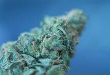 cogollo cannabis
