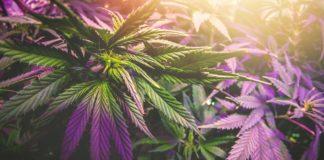 Cannabis plant under uv led grow light