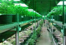 Cultivo indoor comercial