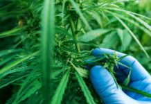 Scientist examining development of Cannabis sativa plant