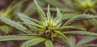 planta cannabis en floración