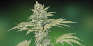 Grape Muerto Auto de Barney's Farm