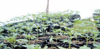 Plantitas de cannabis en crecimiento