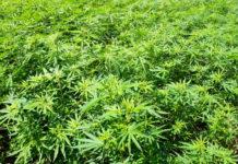 Field of green marijuana (hemp)