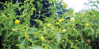 flores de kratom