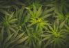 Full frame overhead shot of Medical Cannabis leafs
