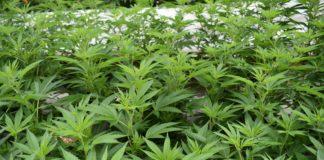 cannabis, marijuana, weed