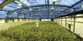 Plantación de cannabis de uso médico