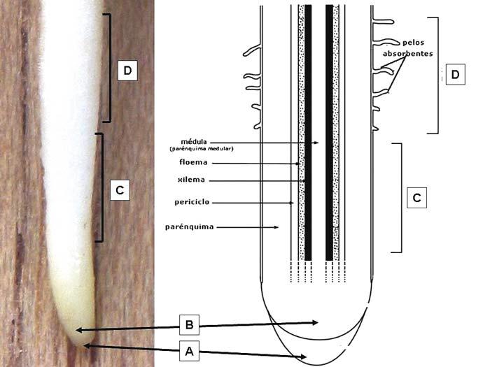 Estructura de la raíz. Imagen de Cehagenmerak.