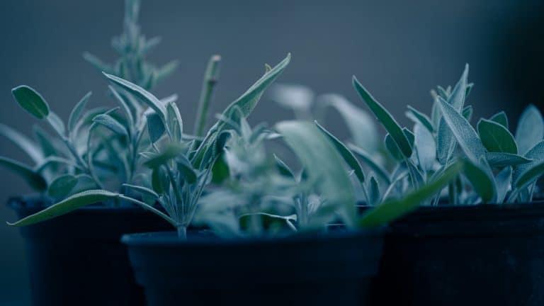 Salvia divinorum – Una hierba alucinante