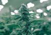 Next Green Wave Cannabis Flower
